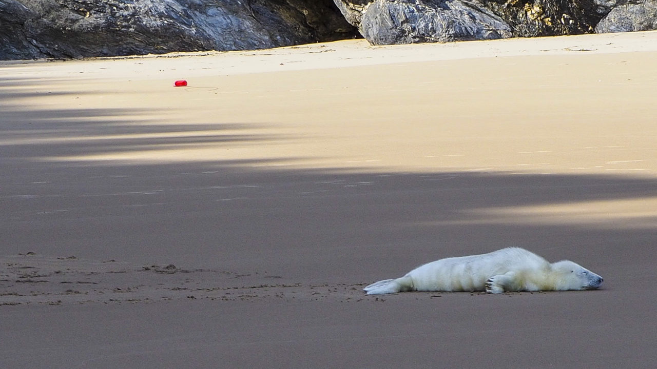 Baby Seal on Silver Strand Beach at Wolohans Camping & Caravan Park in Wicklow